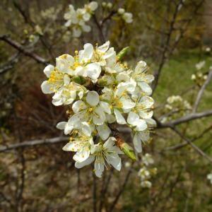 Photographie n°703354 du taxon Prunus cerasifera Ehrh.