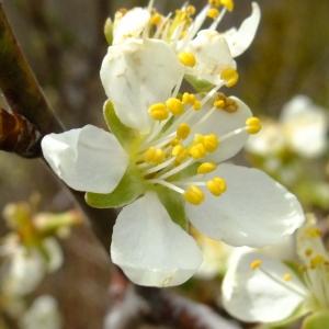 Photographie n°703356 du taxon Prunus cerasifera Ehrh.