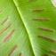 Yoan Martin - Asplenium scolopendrium L.
