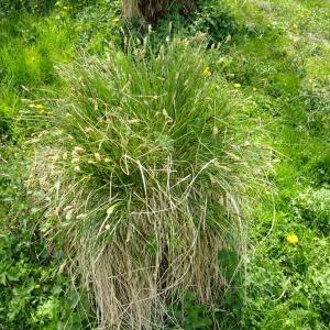 Photographie n°703476 du taxon Carex paniculata L.