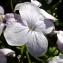 Yoan Martin - Lunaria rediviva L.