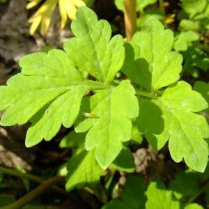Photographie n°703784 du taxon Papaver cambricum L.