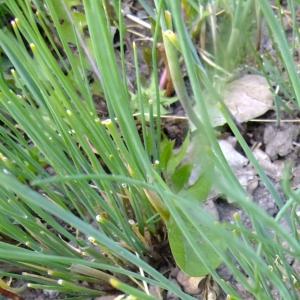 Photographie n°703874 du taxon Allium schoenoprasum L.
