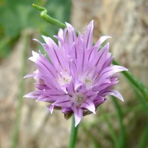 Photographie n°703876 du taxon Allium schoenoprasum L.