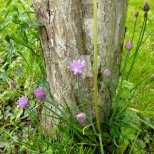 Photographie n°703878 du taxon Allium schoenoprasum L.