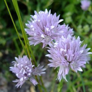 Photographie n°703886 du taxon Allium schoenoprasum L.
