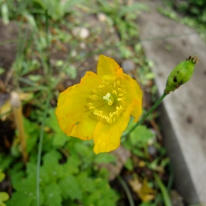 Photographie n°703941 du taxon Papaver cambricum L.