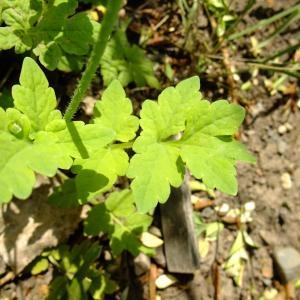 Photographie n°704040 du taxon Papaver cambricum L.