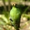 Yoan Martin - Papaver cambricum L.