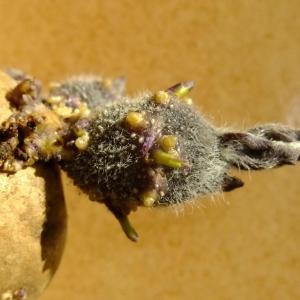 Photographie n°704673 du taxon Solanum tuberosum L.