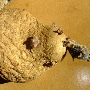 Photographie n°704677 du taxon Solanum tuberosum L.