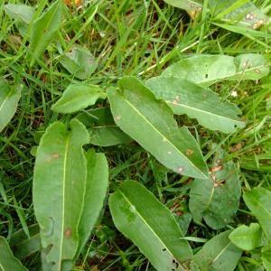 Photographie n°704702 du taxon Persicaria bistorta (L.) Samp.