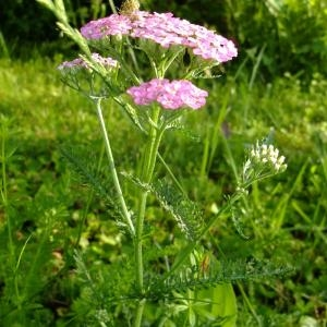 Photographie n°704967 du taxon Achillea distans Waldst. & Kit. ex Willd.