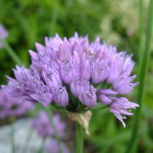 Photographie n°705415 du taxon Allium angulosum L.