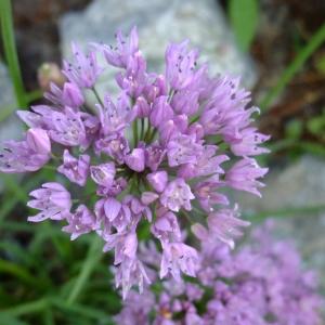 Photographie n°705416 du taxon Allium angulosum L.