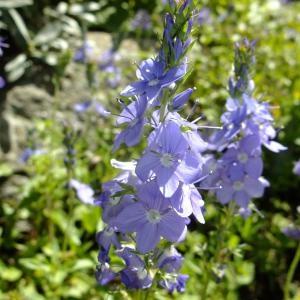 Photographie n°705507 du taxon Veronica austriaca L.