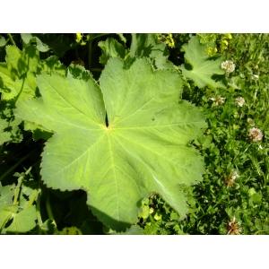 Alchemilla coriacea Buser (Alchémille coriace)