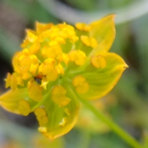 Photographie n°705665 du taxon Bupleurum ranunculoides L.