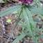 Yoan Martin - Trifolium alpestre L. [1763]