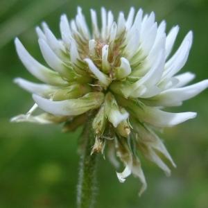 Photographie n°705696 du taxon Trifolium montanum L.
