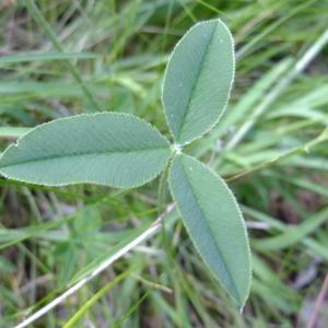 Photographie n°705697 du taxon Trifolium montanum L.