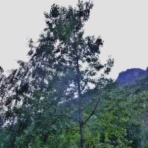 Photographie n°705729 du taxon Populus nigra L.