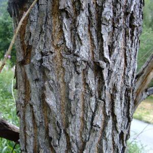 Photographie n°705733 du taxon Populus nigra L.