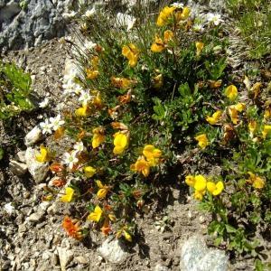 Photographie n°706260 du taxon Lotus alpinus (DC.) Schleich. ex Ramond