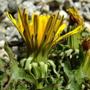 Photographie n°706271 du taxon Taraxacum erythrospermum Andrz. ex Besser