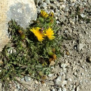 Photographie n°706274 du taxon Taraxacum erythrospermum Andrz. ex Besser
