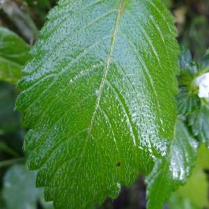 Photographie n°706444 du taxon Galeopsis tetrahit L.