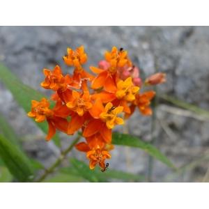 Asclepias curassavica L. (Asclépiade de Curaçao)