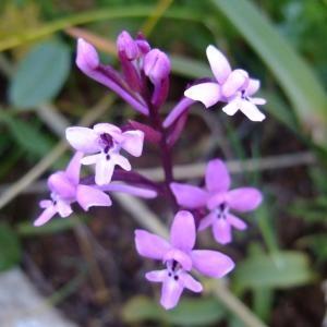 Photographie n°708132 du taxon Orchis quadripunctata Cirillo ex Ten.