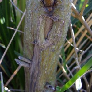 Photographie n°708272 du taxon Genista aetnensis (Biv.) DC.