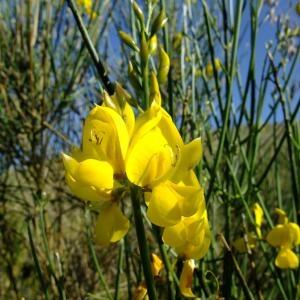 Photographie n°708277 du taxon Genista aetnensis (Biv.) DC.