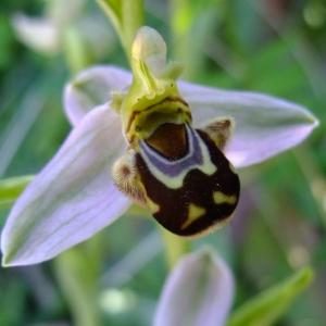 Photographie n°708344 du taxon Ophrys apifera Huds.