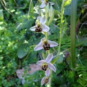 Photographie n°708345 du taxon Ophrys apifera Huds.