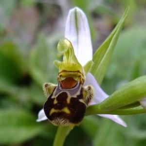 Photographie n°708529 du taxon Ophrys apifera Huds.