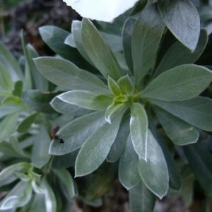 Photographie n°708562 du taxon Convolvulus cneorum L.