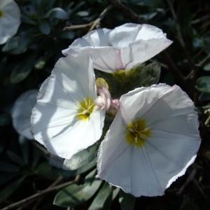Photographie n°708565 du taxon Convolvulus cneorum L.