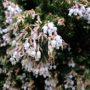 Photographie n°708576 du taxon Erica lusitanica Rudolphi
