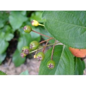 Aronia x prunifolia (Marshall) Rehder (Arone noire)