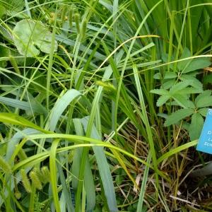 Photographie n°708915 du taxon Carex pseudocyperus L.