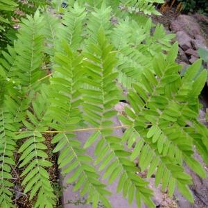 Photographie n°709040 du taxon Osmunda regalis L.