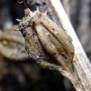- Neottia nidus-avis (L.) Rich.