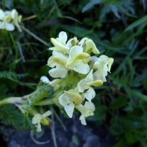 Photographie n°709524 du taxon Pedicularis tuberosa L.