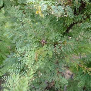 Photographie n°710519 du taxon Caesalpinia gilliesii (Wall. ex Hook.) D.Dietr.