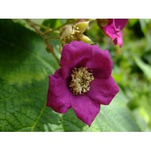 Rubus odoratus L.