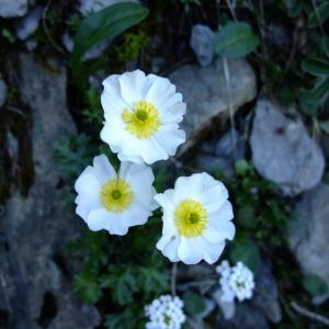 Photographie n°711600 du taxon Ranunculus alpestris L.