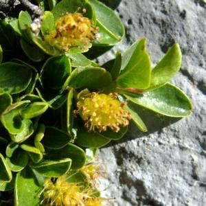 Photographie n°711625 du taxon Salix retusa L.